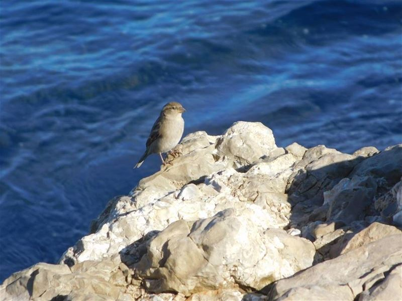 picoftheday world lebanon beirut bird sea blue water free photography...